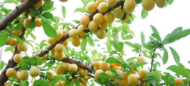 golden-plums